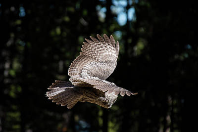 Photograph - Great Gray Owl Lucky Shot 3 by Frank Madia