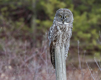 Photograph - Great Gray Owl On Fence Post by John Vose