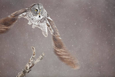 Great Gray Photograph - Great Gray Owl On The Wing by Tim Grams