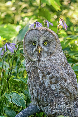Photograph - Great Gray Owl by Patricia Hofmeester