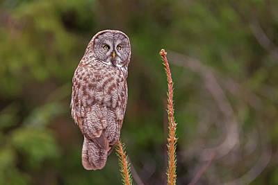 Photograph - Great Gray Owl Pose by Loree Johnson