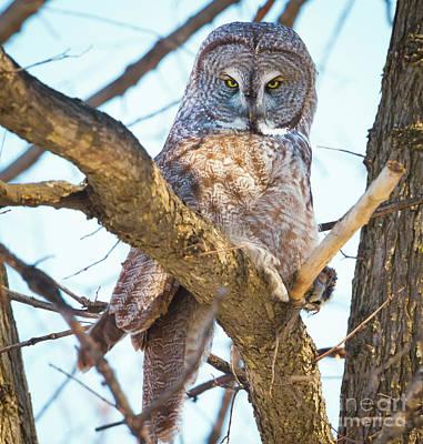 Great Gray Owl Art Print by Ricky L Jones