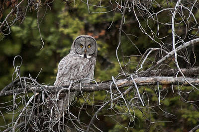Photograph - Great Gray Owl by Steve Stuller