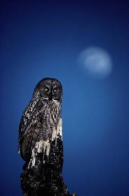 Great Gray Photograph - Great Gray Owl Strix Nebulosa by Michael S. Quinton