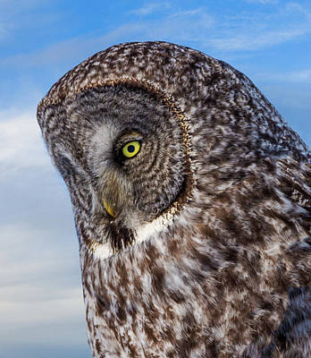 Rare Bird Photograph - Great Gray Owl by TL Mair