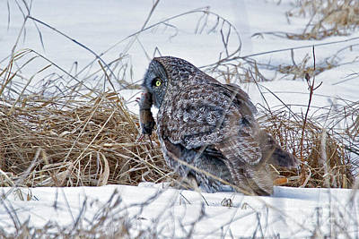 Photograph - Great Gray Owl With Vole by Butch Lombardi