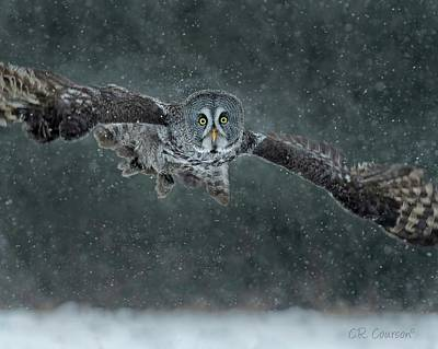 Photograph - Great Gray Wintery Flight by CR Courson