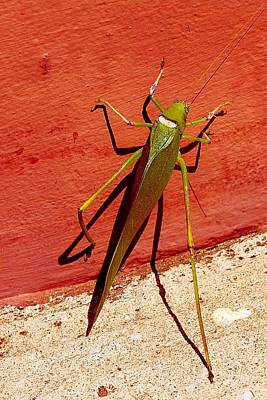 Photograph - Great Green Bush Cricket by Dora Hathazi Mendes