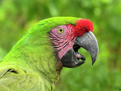 Photograph - Great Green Macaw Portrait by Betty Denise