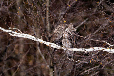 Photograph - Great Grey Owl 1 by Tracy Winter