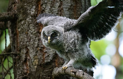 Doug Gray Photograph - Great Grey Owl by Adele Buttolph