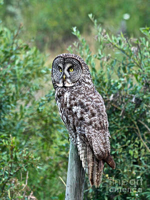Photograph - Great Grey Owl by Ann E Robson
