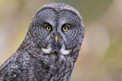 Photograph - Great Grey Owl by Celine Pollard