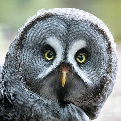 Photograph - Great Grey Owl Closeup by Jane Rix