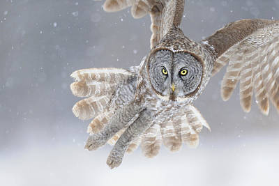 Great Grey Owl In Snowstorm Art Print by Scott  Linstead