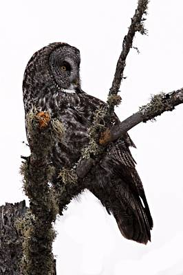 Photograph - Great Grey Owl by Larry Ricker