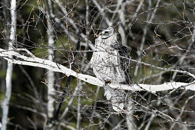 Photograph - Great Grey Owl Looking Up by Tracy Winter