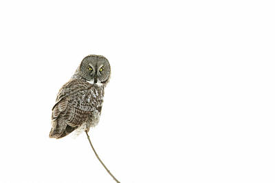 Art Print featuring the photograph Great Grey Owl On White by Mircea Costina Photography