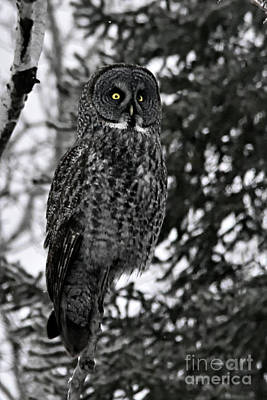 Photograph - Great Grey Owl Portrait by Larry Ricker