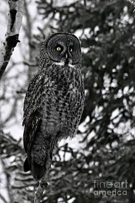 Photograph - Great Grey Owl Portrait by Larry Ricker