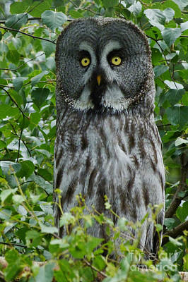 Photograph - Great Grey Owl - Surprised by Phil Banks