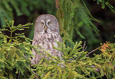 Photograph - Great Grey Owl Visits The Redwoods by Loree Johnson