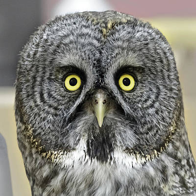 Photograph - Great Grey Owl by Wes and Dotty Weber