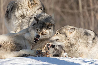 Photograph - Great Grey Wolves by Josef Pittner