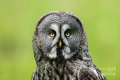 Photograph - Great Grey's Portrait by Torbjorn Swenelius