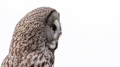 Photograph - Great Grey's Profile On White by Torbjorn Swenelius