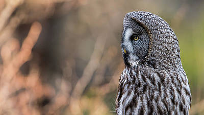 Photograph - Great Grey's Profile by Torbjorn Swenelius