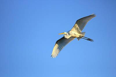 Photograph - Great Heron In Flight I by Tony Umana