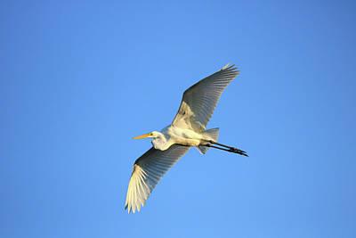 Photograph - Great Heron In Flight II by Tony Umana