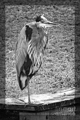Photograph - Great Heron Monochrome by Ella Kaye Dickey