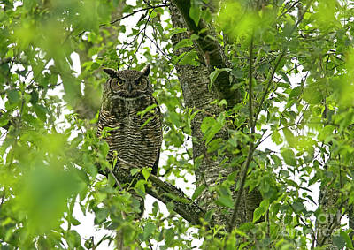 Photograph - Great Honed Owl On Tree Branch by Sharon Talson