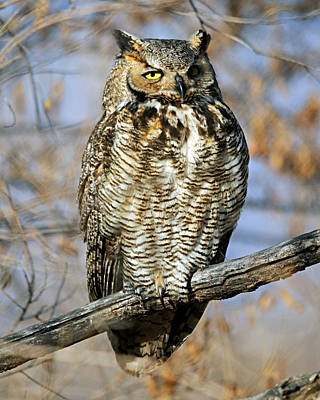 Photograph - Great Horned Owl 1 by Diana Douglass
