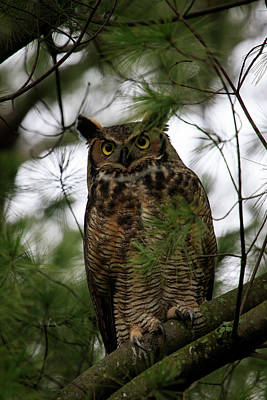 Photograph - Great Horned Owl 2 by Gary Hall