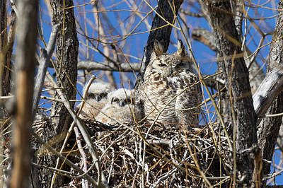 Photograph - Great Horned Owl And Her Owlets by Tony Hake