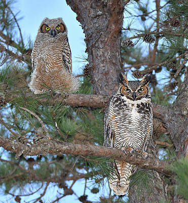 Photograph - Great Horned Owl And Juvenile  by Alan Lenk