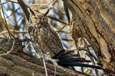 Photograph - Great Horned Owl And Magpie Dinner by Dawn Key