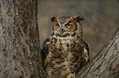 Photograph - Great Horned Owl by Ann Bridges