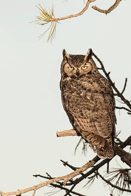 Photograph - Great Horned Owl At Dusk by Dawn Key