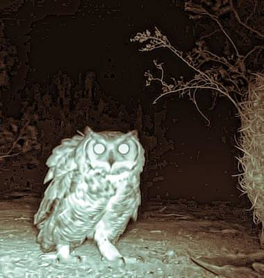 Photograph - Great Horned Owl At Night In The Desert by Judy Kennedy