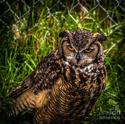 Photograph - Great Horned Owl by Blake Webster