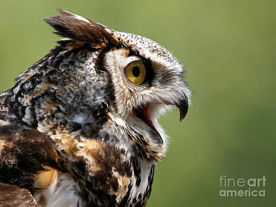 Photograph - Great Horned Owl - Calling Out by Sue Harper