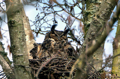 Photograph - Great Horned Owl by Chris LeBoutillier