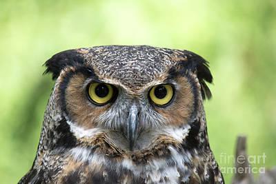Owl Photograph - Great Horned Owl by CJ Park