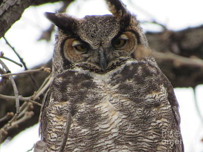 Photograph - Great Horned Owl by Cindy Fleener