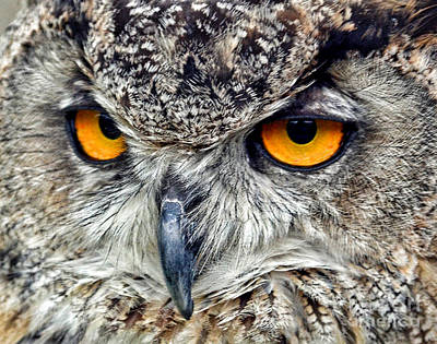 Photograph - Great Horned Owl Closeup by Jim Fitzpatrick