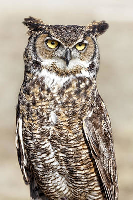 Animals Royalty-Free and Rights-Managed Images - Great Horned Owl by Wes and Dotty Weber